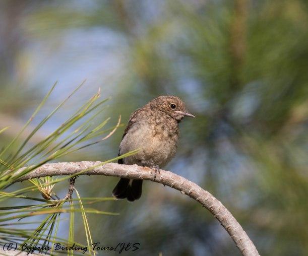 Cyprus Wheatear fledgling, Amiandos, 31st May 2016 (c) Cyprus Birding Tours