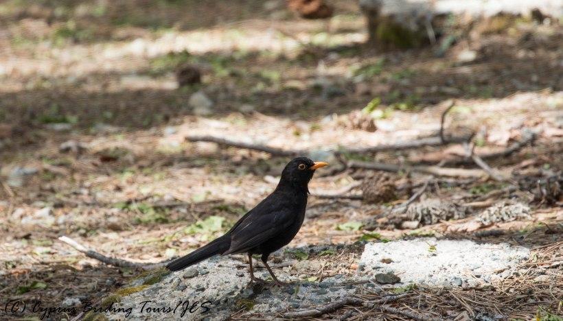 Eurasian Blackbird, Caledonia Trail, 31st May 2016 (c) Cyprus Birding Tours