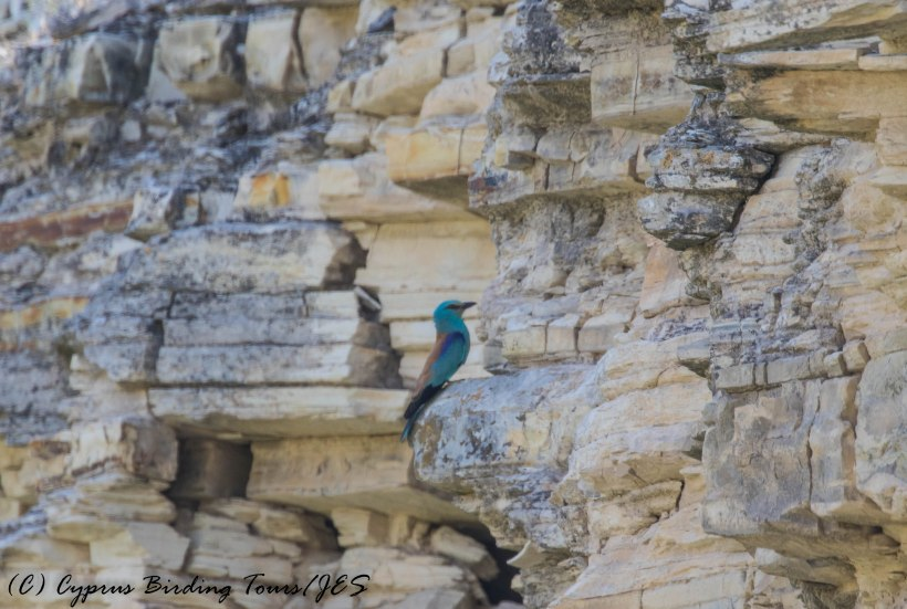 European Roller, Panagia Stazousa, 20th May 2016 (c) Cyprus Birding Tours