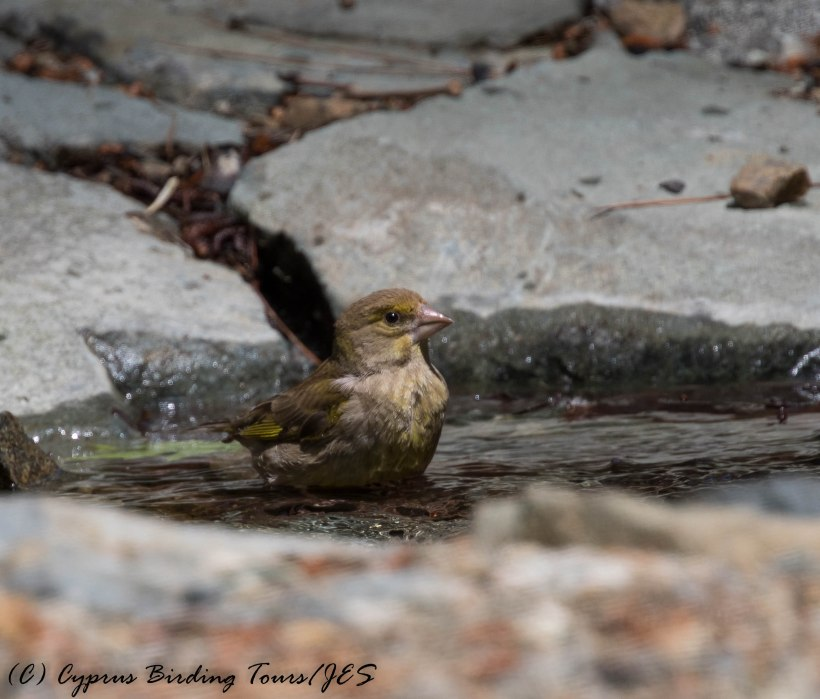 European Greenfinch Platania, 31st May 2016 (c) Cyprus Birding Tours