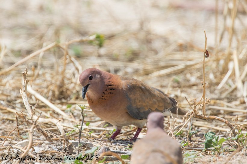 Laughing Dove 2, Aradippou, 20th May 2016 (c) Cyprus Birding Tours