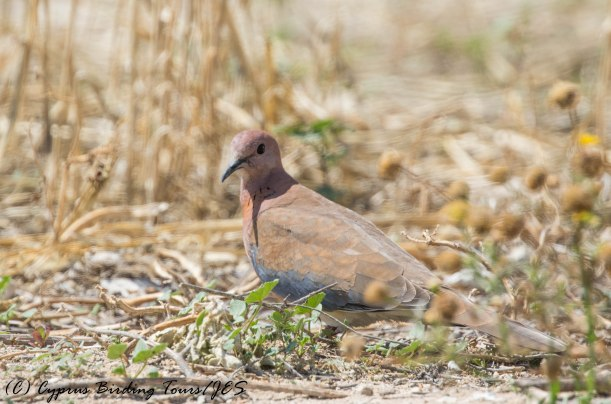 Laughing Dove, Aradippou, 20th May 2016 (c) Cyprus Birding Tours