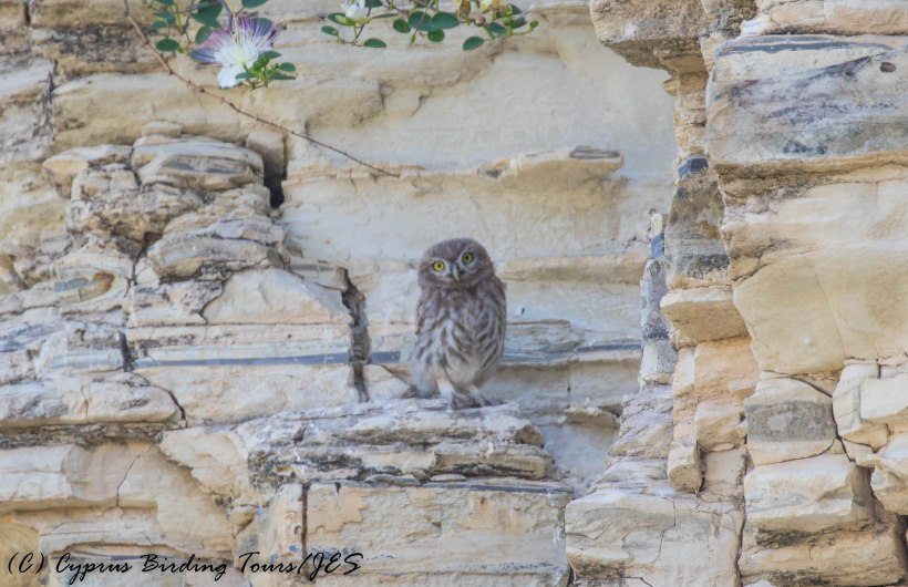 Young Little Owl, Panagia Stazousa, 20th May 2016 (c) Cyprus Birding Tours