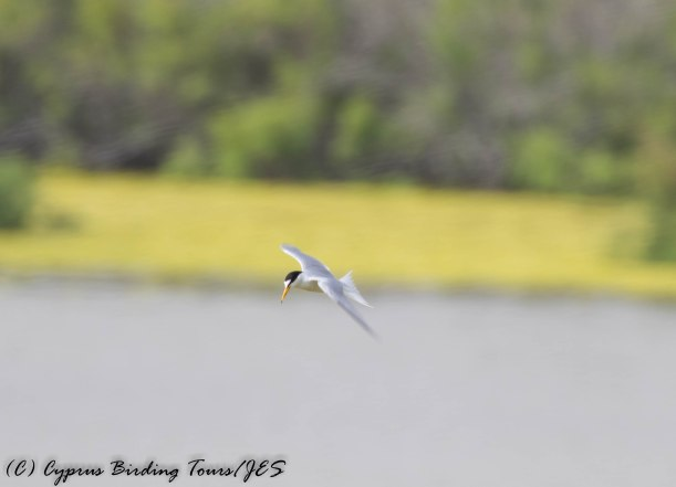 Little Tern, Oroklini Marsh, 14th May 2016 (c) Cyprus Birding Tours