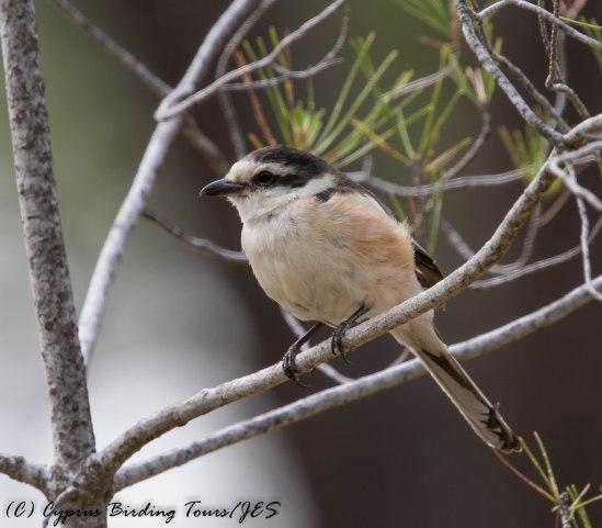 Masked Shrike, Panagia 11th May 2016 (c) Cyprus Birding Tours