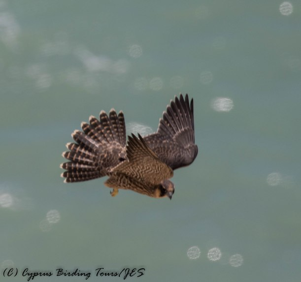 Peregrine Falcon, Petra tou Romiou 7th May 2016 (c) Cyprus Birding Tours