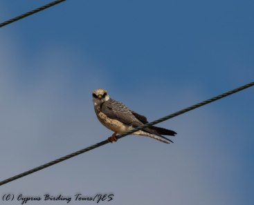 Red-footed Falcon female, Anarita Park 7th May 2016 (c) Cyprus Birding Tours