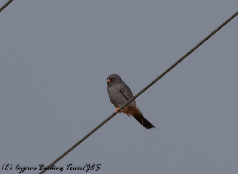 Red-footed Falcon, Anarita Park 30th April 2016 (c) Cyprus Birding Tours