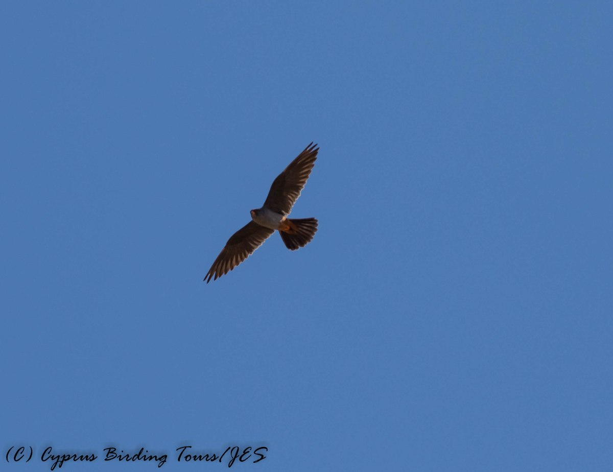Red-footed Falcon, Anarita Park 7th May 2016 (c) Cyprus Birding Tours