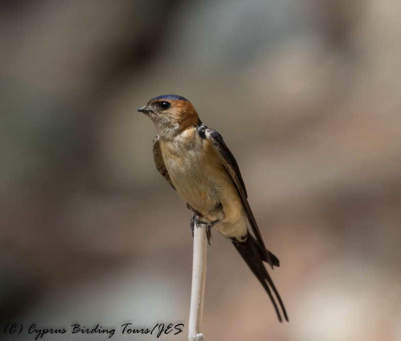 Red-rumped Swallow, Platania, 31st May 2016 (c) Cyprus Birding Tours