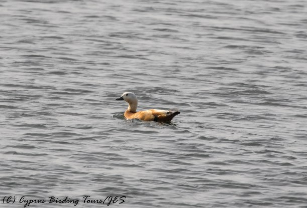 Ruddy Shelduck , Larnaca Sewage Works 16th May 2016 (c) Cyprus Birding Tours