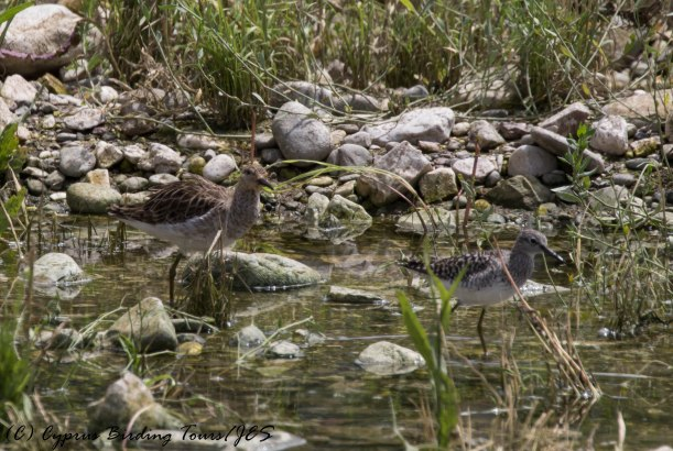 Ruff and Wood Sandpiper, Agia Varvara 30th April 2016 (c) Cyprus Birding Tours