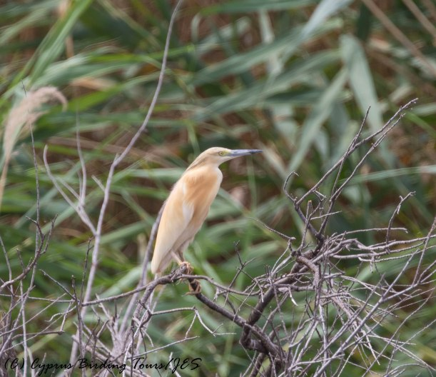 Squacco Heron Larnaca Salt Lake 16th May 2016 (c) Cyprus Birding Tours