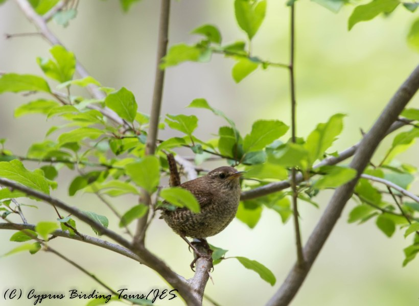 Winter Wren, Caledonia Trail, 31st May 2016 (c) Cyprus Birding Tours