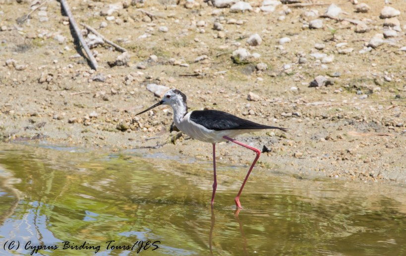 Black-winged Stilt, Athalassa 9th June 2016 (c) Cyprus Birding Tours
