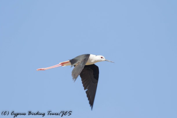 Black-winged Stilt, Larnaca 13th June 2016 (c) Cyprus Birding Tours
