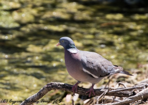 Common Woodpigeon, Athalassa 9th June 2016 (c) Cyprus Birding Tours
