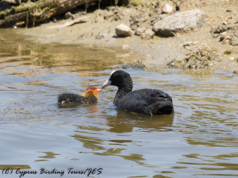 Eurasian Coot with young, Athalassa 9th June 2016 (c) Cyprus Birding Tours
