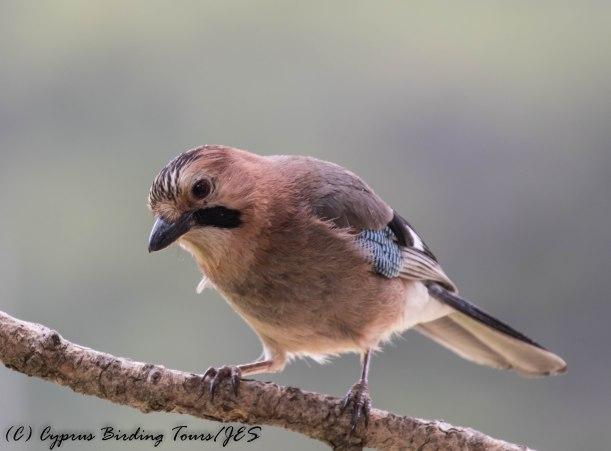 Eurasian Jay, Livadi tou Pashia, 10th June 2016 (c) Cyprus Birding Tours