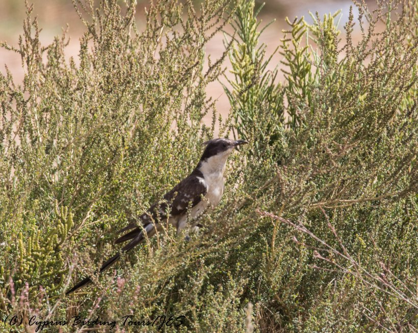 Great Spotted Cuckoo, Spiros Pool, 4th June 2016