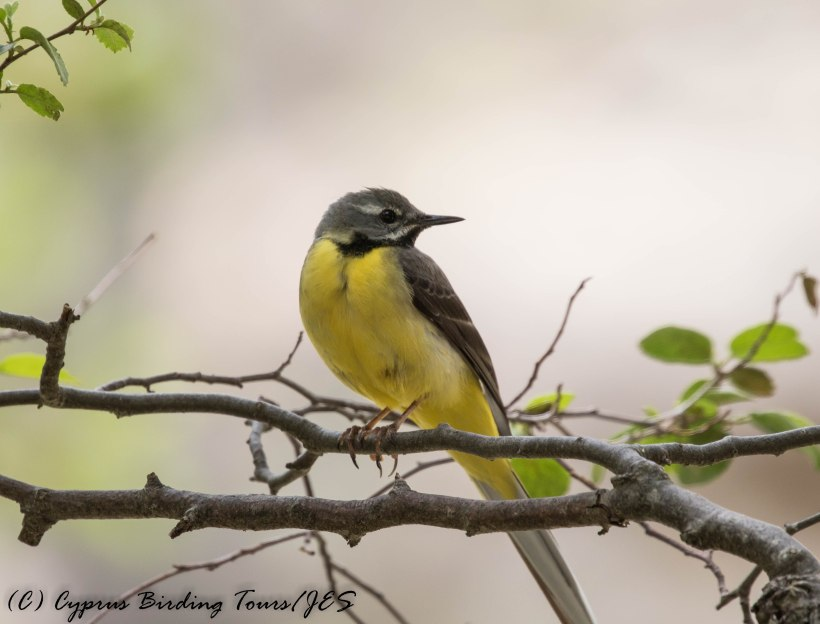 Grey Wagtail, Caledonia Trail, 10th June 2016 (c) Cyprus Birding Tours