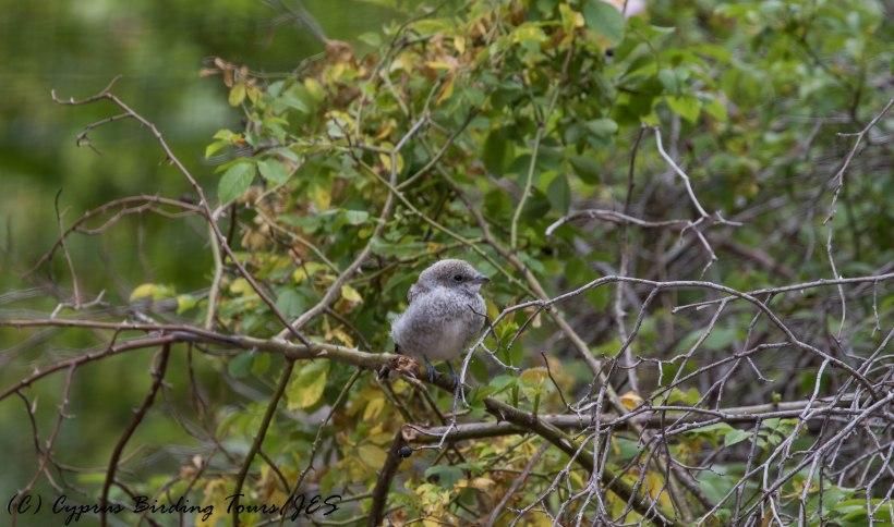 Masked Shrike juvenile, Livadi tou Pashia, 10th June 2016 (c) Cyprus Birding Tours