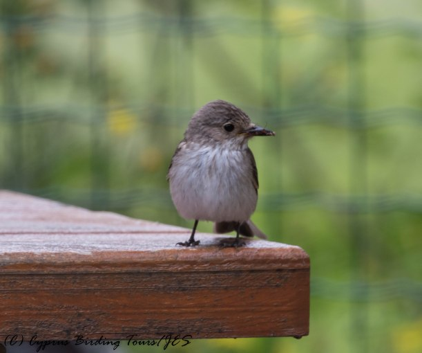 Spotted Flycatcher, Livadi tou Pashia, 10th June 2016 (c) Cyprus Birding Tours