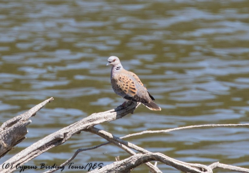 European Turtle Dove, Athalassa Dam, 9th June 2016 (c) Cyprus Birding Tours
