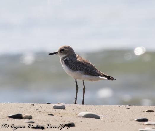 Greater Sand Plover, Spiros Beach, 27th July 2016 (c) Cyprus Birding Tours
