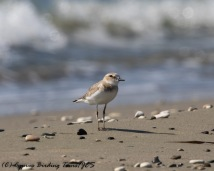 Greater Sand Plover, Spiros Beach, 27th July 2016 (c) Cyprus Birding Tours