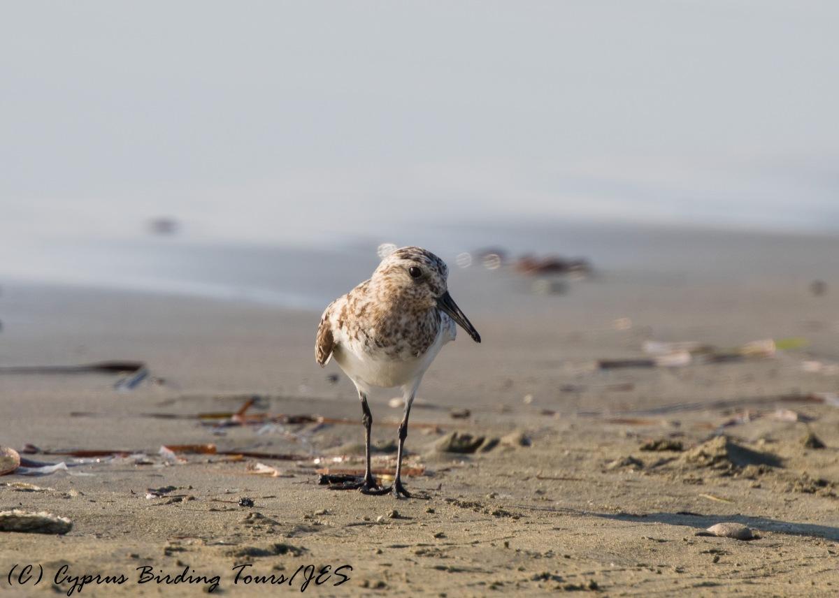 Sanderling, Spiros Beach, 27th July 2016 (c) Cyprus Birding Tours