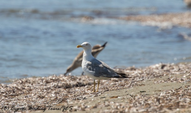 Yellow-legged Gull, Spiros Beach, 25th July 2016 (c) Cyprus Birding Tours