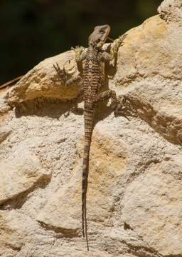 Starred Agamas, Neochorio, Paphos (c) Fulco van' t Holt