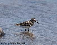 Broad-billed Sandpiper, Akrotiri, 31st August 2016 (c) Cyprus Birding Tours