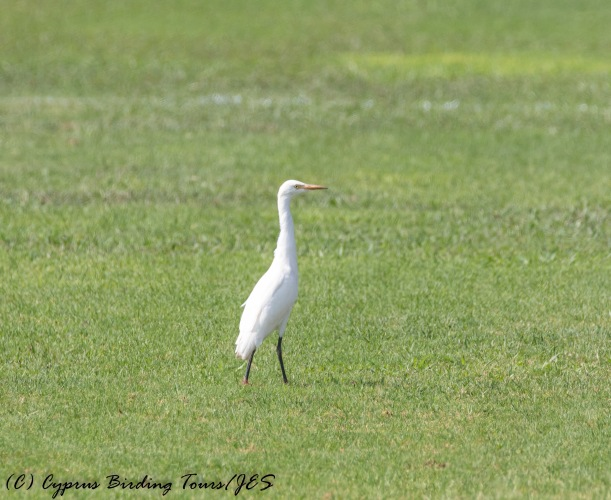 Cattle Egret, Agia Napa Football Fields 12th August 2016 (1 of 1)