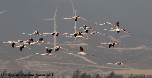 Greater Flamingo, Larnaca Sewage Works 16th August 2016 (c) Cyprus Birding Tours