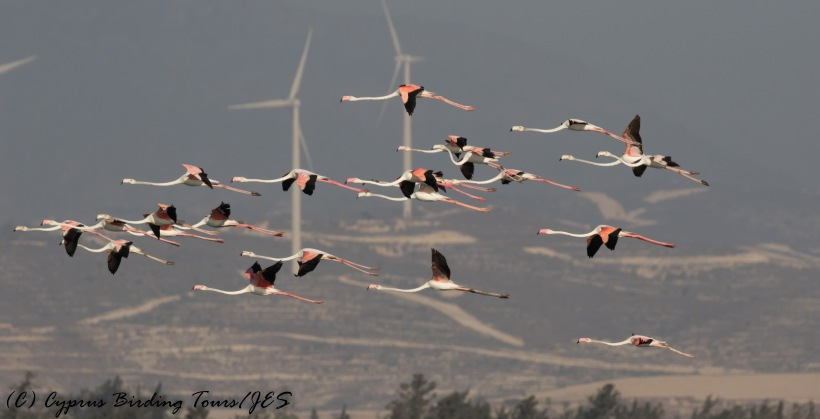 Greater Flamingo, Larnaca Sewage Works 16th August 2016 (c) Cyprus Birding Tours