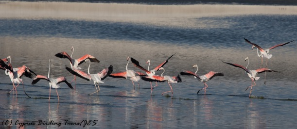 Greater Flamingo 4, Larnaca Sewage Works 16th August 2016 (1 of 1)