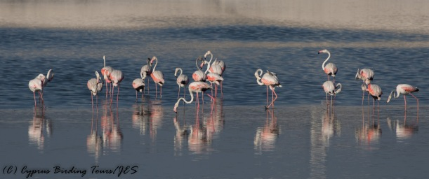Greater Flamingo 5, Larnaca Sewage Works 16th August 2016 (1 of 1)