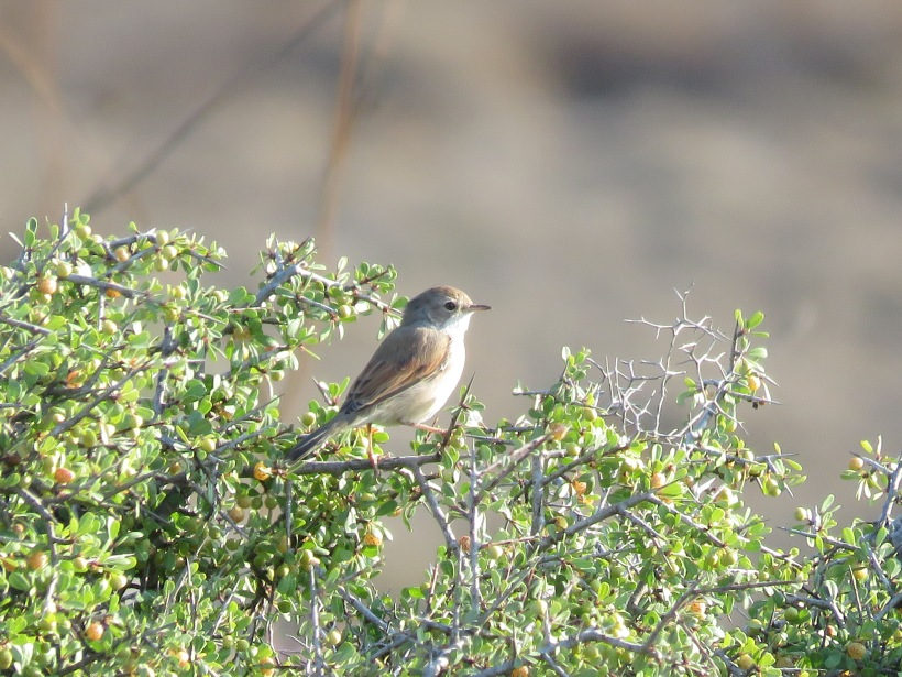 Spectacled Warbler, Minthis Hills 8th August (c) Paul Lowden