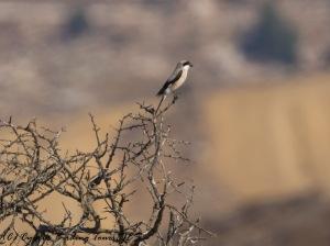 Lesser Grey Shrike, Arodes, 10th August 2016 (c) Cyprus Birding Tours