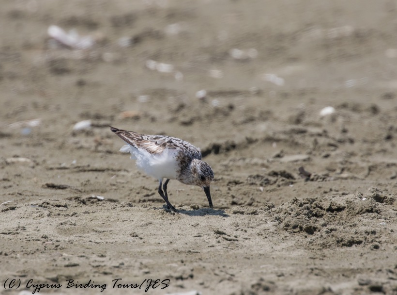Sanderling, Spiros Beach. 13th August 2016 (c) Cyprus Birding Tours