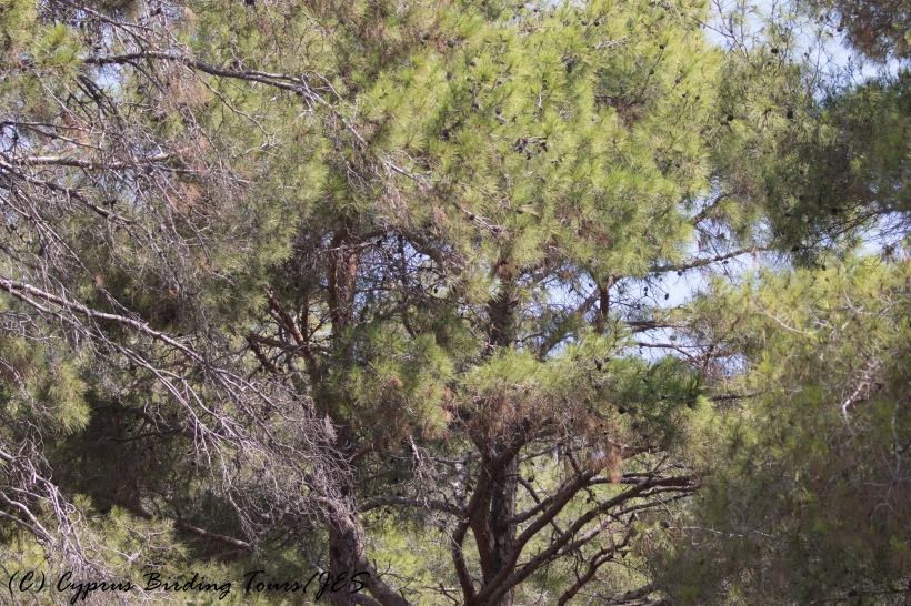 Smygies picnic site, Neo Chorio, Paphos 5th August 2016 (c) Cyprus Birding Tours