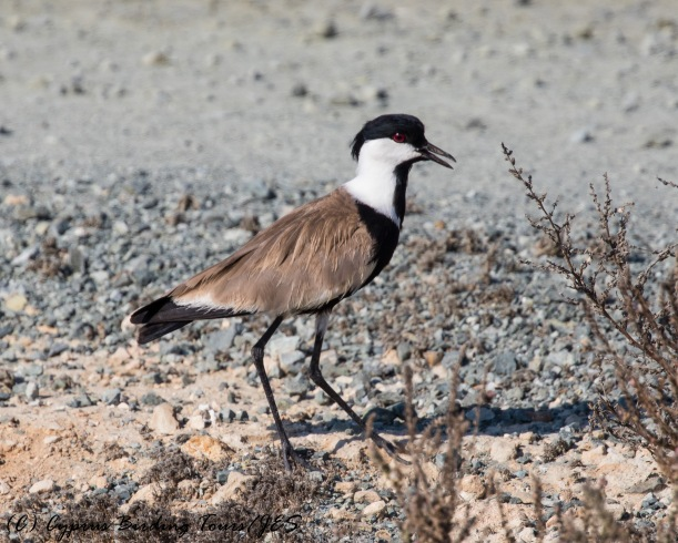 Spur-winged Lapwing, Larnaca Sewage Works 9th August 2016 (c) Cyprus Birding Tours