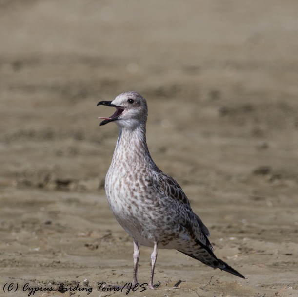 Yellow-legged Gull juv Larnaca 15th August 2016 (c) Cyprus Birding Tours