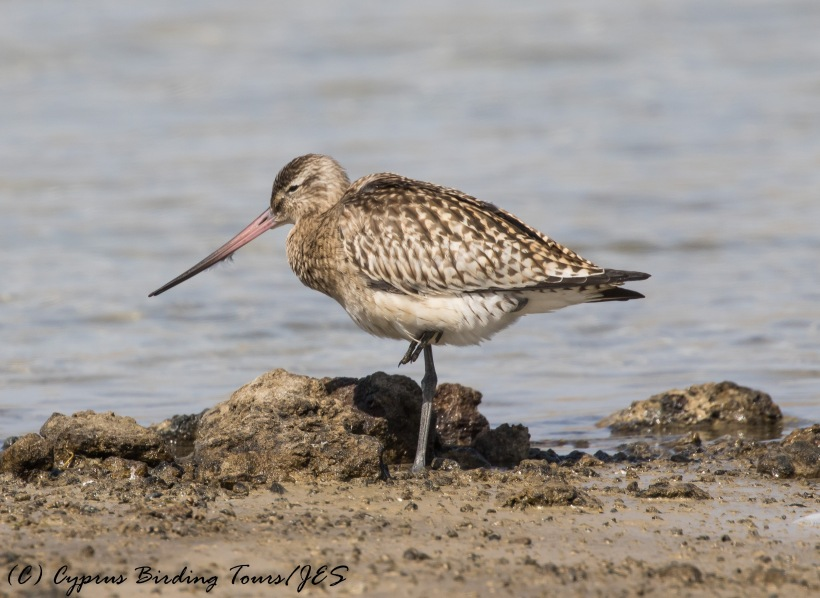 Bar-tailed Godwit, Akrotiri Gravel Pits, 20th September 2016 (c) Cyprus Birding Tours