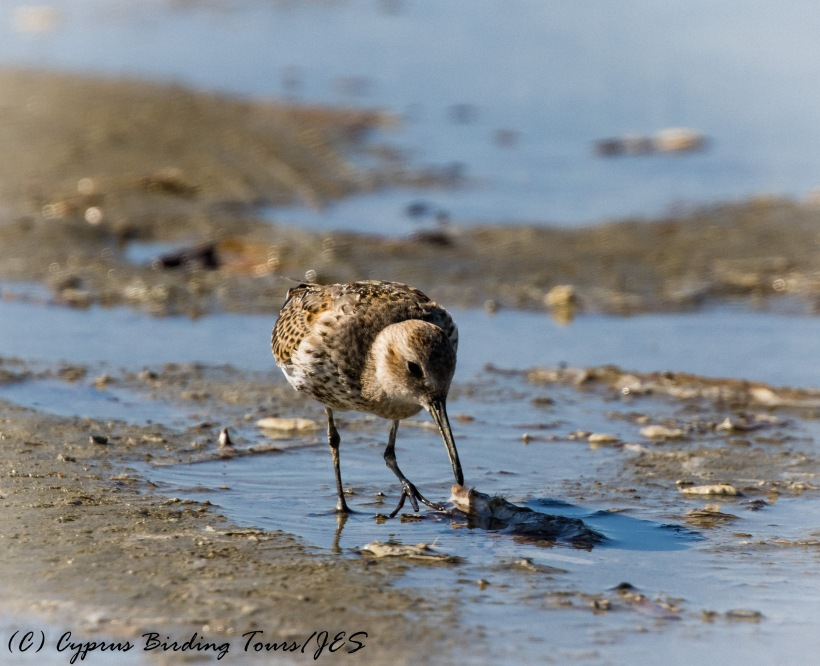 Dunlin, Meneou 25th September 2016 (c) Cyprus Birding Tours
