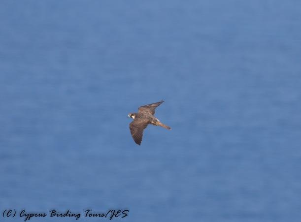 Eleonora's Falcon, Cape Greco 2nd September 2016 (c) Cyprus Birding Tours