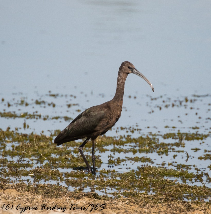 Glossy Ibis, Akhna Dam 27th September 2016 (c) Cyprus Birding Tours