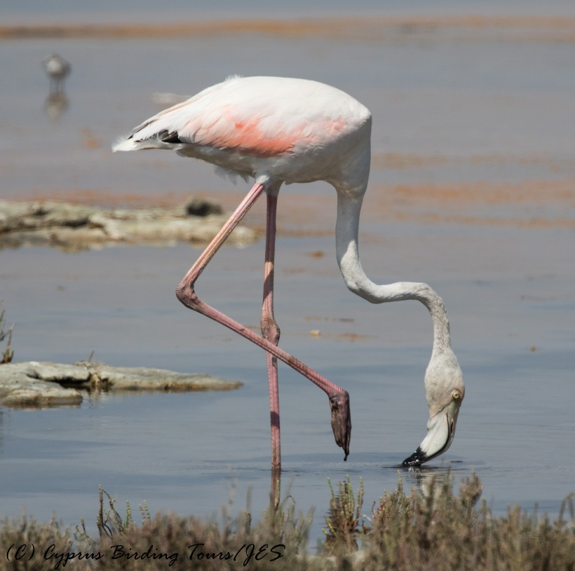 Greater Flamingo, Lady's Mile 20th September 2016 (c) Cyprus Birding Tours
